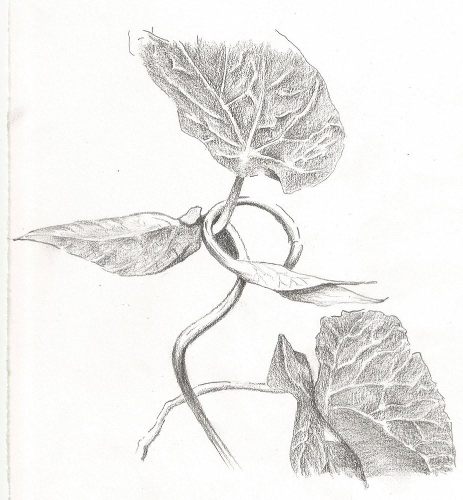Botanical Illustration-Ray Manley 2