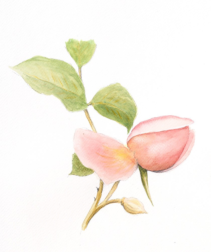 Botanical Illustration-Ray Manley
